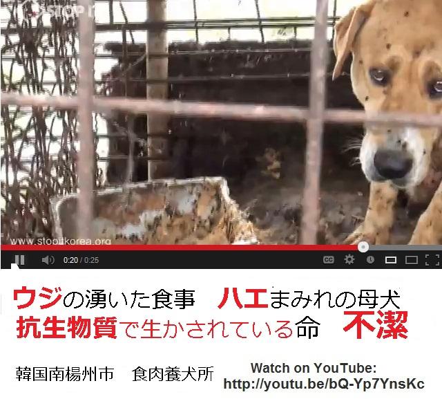 クリック:危険だらけの韓国犬肉!