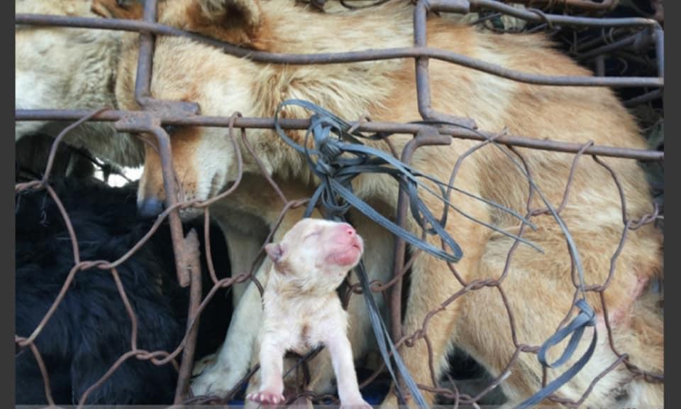 中国:屠殺場へ向かう途中で出産した母犬