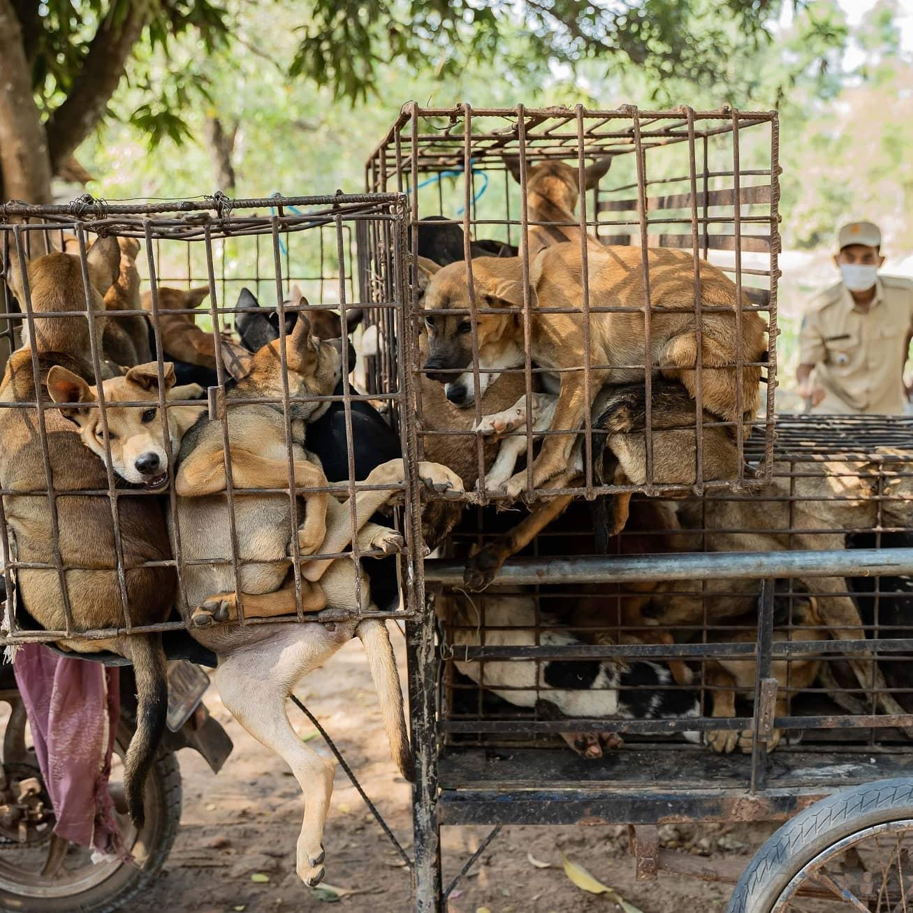 カンボジア犬肉産業:少しづつ少しづつ変わりゆく